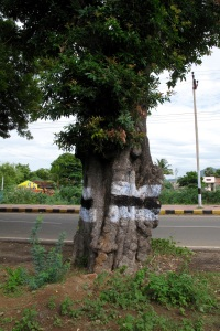 This Illipai tree has marked my entrance to the village on the hill-round-route for forty years, growing more beautiful by the minute.